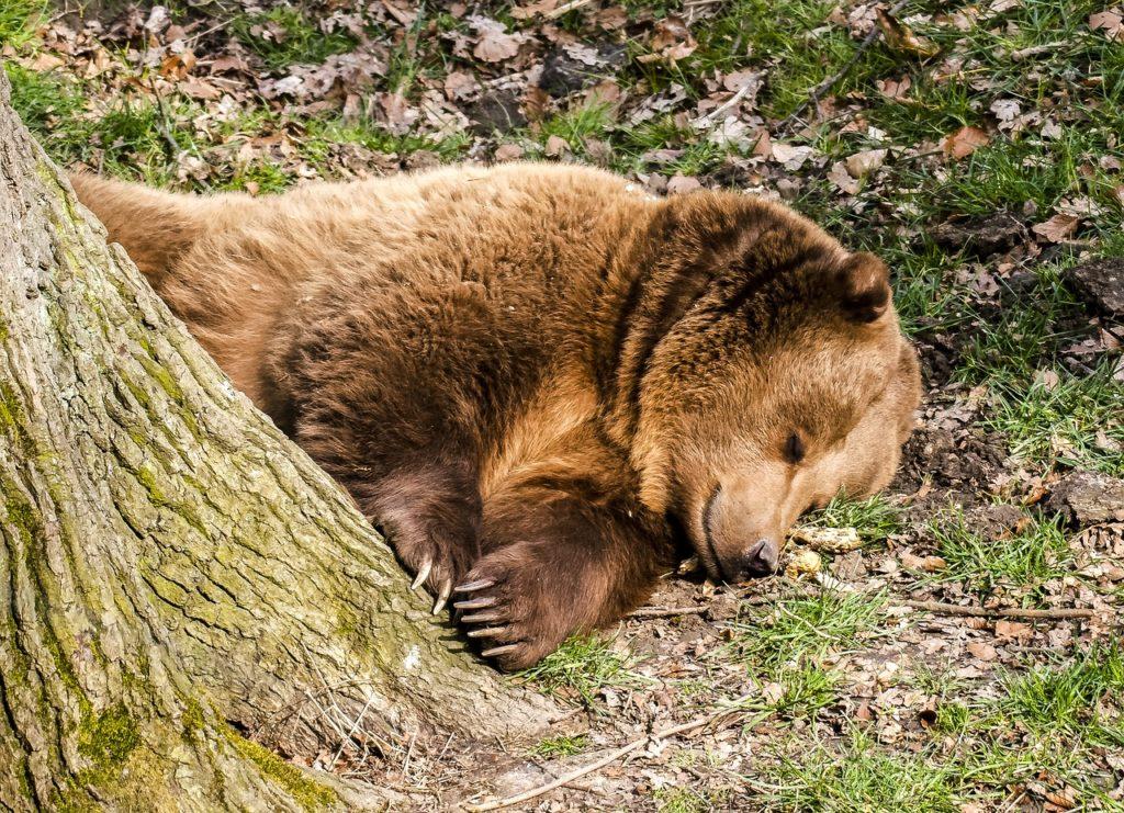 oso_pardo_durmiendo_junto_árbol